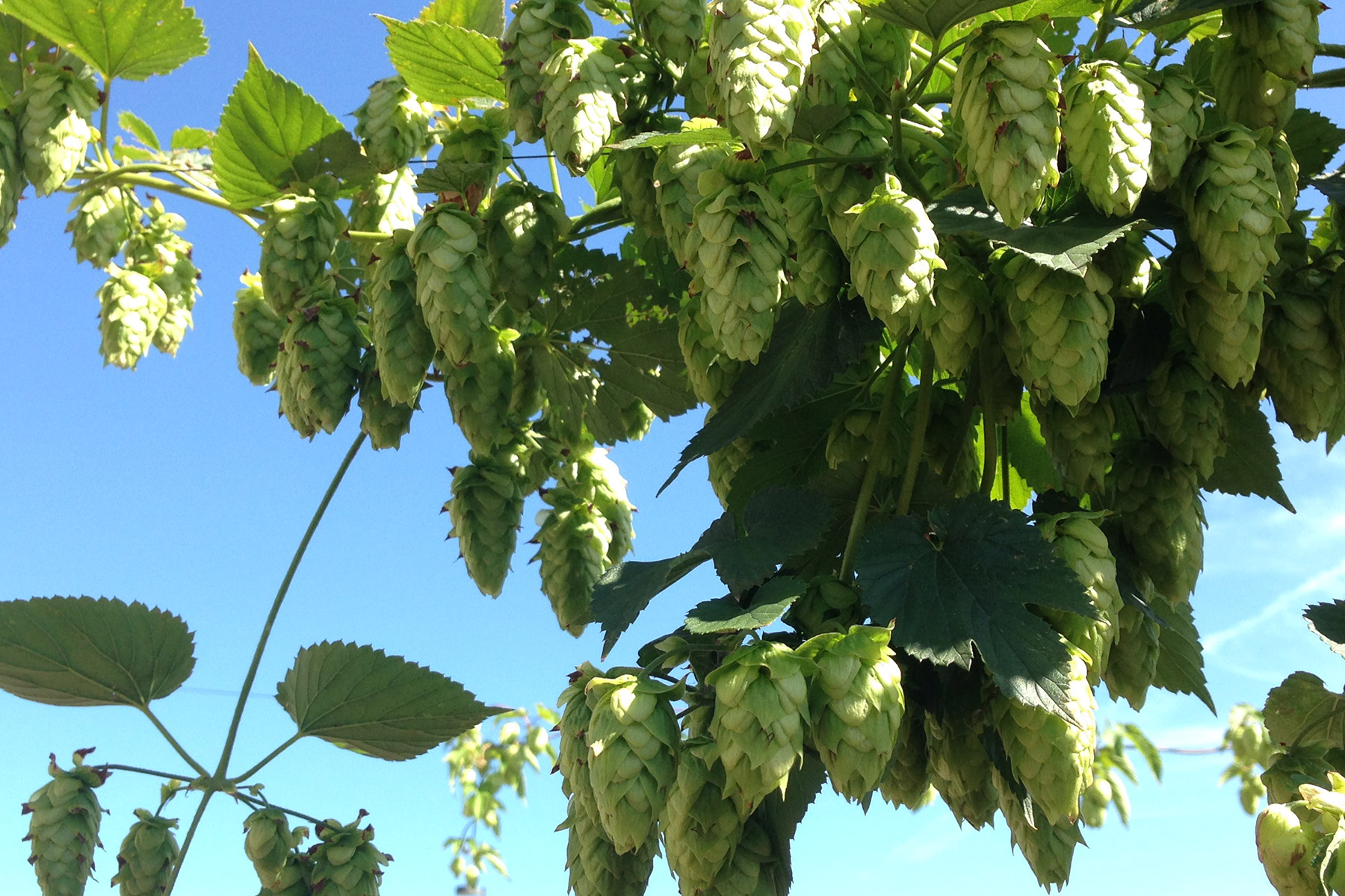 upstream hops